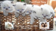 Zachary and Halia's Precious Babies  http://www.royalrascalscattery.com/id2.html