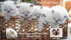 Zachary and Halia's Precious Babies  http://www.royalrascalscattery.com/id2.html