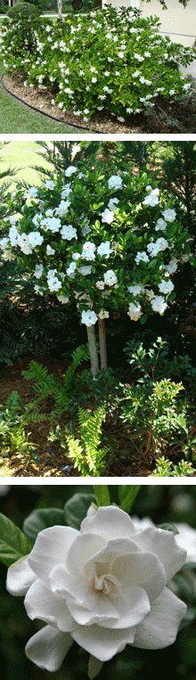 Love gardenias, ahhh the smell!
