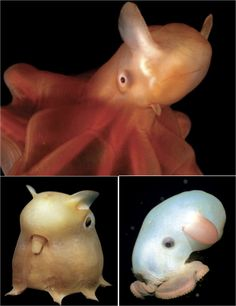 a dumbo octopus