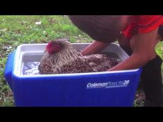 ▶ Broody Hen Chickens How to undo broodiness. Stop sitting on eggs. Does Water Work?YES! - YouTube
