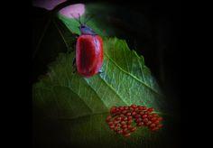 Lieveheersbeestje legt eitjes. Door communitylid Jim Hoffman - NG FotoCommunity ©
