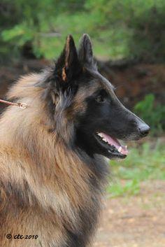Belgian Tervuren- I miss my Bruno :( #dogs #animal #belgian #tervuren