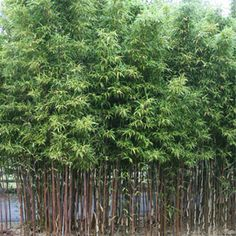 Temple Bamboo (Semiarundinaria fastuosa) just ordered from Logees!!  Turns purple in the fall!  20 ft.  tall for privacy between us and neighbor