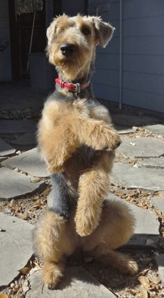 Abbie the Airedale Terrier, aww she is so darling and smart too