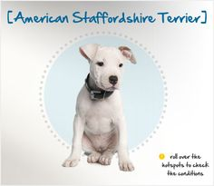 Did you know the American Staffordshire Terrier was originally called the Staffordshire Bull? Read more about this breed by visiting Petplan pet insurance's Condition Checker!