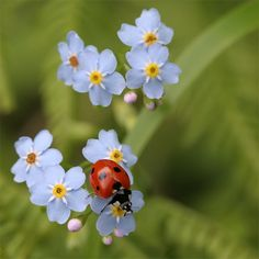 lady bug and forget-me-nots