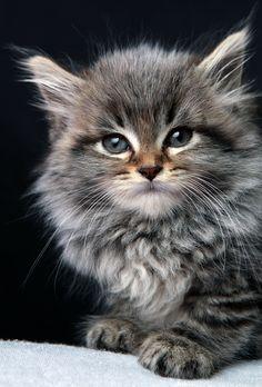 Maine coon kitten <3