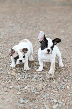 anim, bulldog puppies, french bulldogs, ear, pet, frenchi, baby dogs, ador, friend