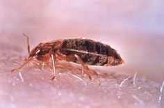 Bed bugs breed fast. Females can lay 5-7 eggs every single week, and since they can live quite long, a single female bed bug can lay as many as 500 eggs in her lifetime URL:  http://spiderbites.net/bed-bug-bites/
