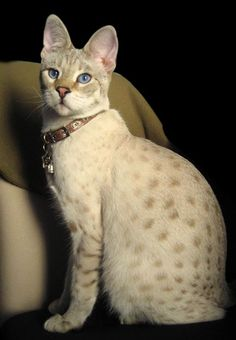 Savannah cat -- photo by Hale Stone Savannah Cats. These are huge cats, some up to 30 lbs! The father is a wild Serval and the mother a domestic cat.