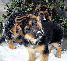 Snowy shepherd