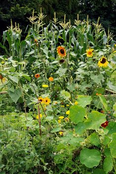 A list of flowers you might want to plant in with your veggies and why from Homestead Revival