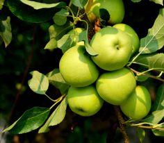 granni smith, smith appl, appl tree, green apple tree, apples