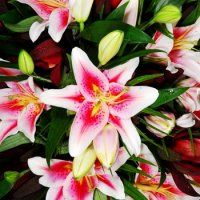 Bulk Stargazer Lily.  Starting at $176.99  Description: Bold. Dramatic. The petals have dark pink spots and white edges. Flowers are cup-shaped to flat with recurved tips, up to 8 inches in diameter, usually pendant.  Stems 24-40 inches long. 1-3 flowers per stem. white flowers, stargaz lili, silk stargaz, bulk flower