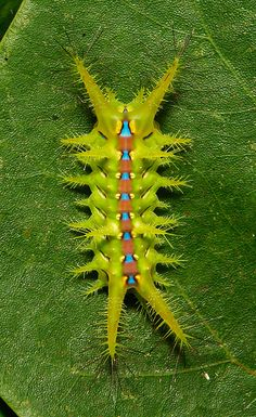 Stinging Nettle Cup Moth Caterpillar