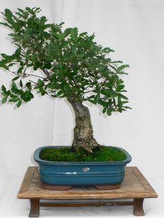 *rs Bonsai Quercus macrolrpis Wallonen-Eiche,Arkadische-Eiche 017