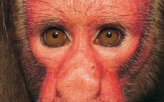 la-mirada-del-uakari-rojo-1702.jpg (635 × 400)