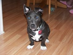 -Stella-Pitbull and Dachshund mix -   wow - look at her blue eyes, so cute.