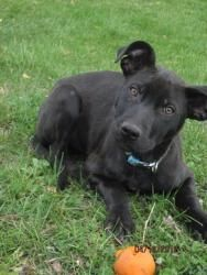 , MD. Age: 6 months Breed: Labrador Retriever mix Gender: Male Weight ... Great Pyrenees 6 Months Old Weight
