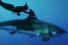 free dive with a great white