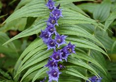Gentiana asclepiadea, Position: Partial shade  Flowering period: Late summer to early autumn  Soil: Moist, well drained  Eventual Height: 60m  Eventual Spread: 1m  Hardiness: 5a – 8b