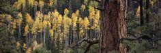 Ponderosa Pine Tree Among Aspen Trees in Fall Colors