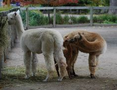 Aww how cute are these Alpaca! Cypress is a newborn alpaca born at The Children's Zoo at Celebration Square in Michigab.