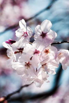 Cherry Blossoms [By:
