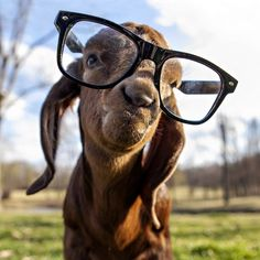 farm, goats, hipsters, gift, anim