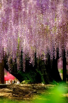 Giant Wisteria, Asikaga Flower Park, Tochigi, Japan