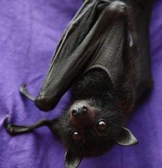 Fruit Bat (flying fox) So cute!