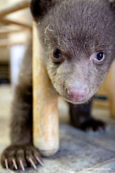 Look at the baby #bear! #cute #adorable #animals