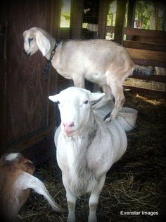 Homestead website - #goatvet likes this photo of a very patient mother goat