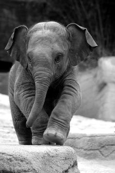 elephant baby <3 some day I'll work with these creatures