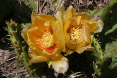 The plains prickly pear in bloom in Sedgwick County, Kansas.