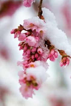 pink snow blossoms