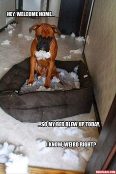 boxer dogs, funny dogs, funny pictures, silly dogs, funni, pet, dog beds, dog humor, puppi