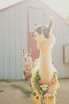 Stylish alpacas!
