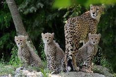 (via 500px / Cheetah Family by Josef Gelernter)