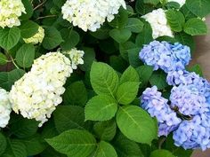 How to Plant a Hydrangea Plant Outdoors