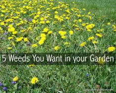 5 Weeds You Want in your Garden