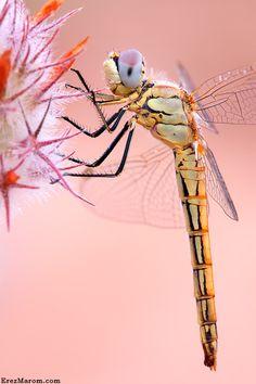 Delicate dragonfly macro.