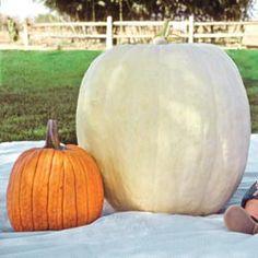 Full Moon Hybrid Pumpkin....