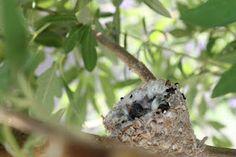 Hummingbird baby nest