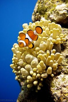 Clownfish by ChiaraScappa