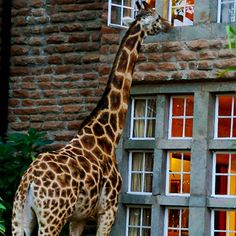 16 Hotels That Are So Cool You'll Want To Stay Forever adventur, giraffe hotel, stay forev, awesom hotel, travel hotels, 16 hotel, giraff manor, giraffe manor, giraff hotel
