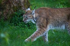 Lynx | Flickr - Photo Sharing!