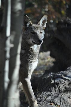☀Red Wolf by T Wheatley