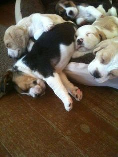 I ❤ Beagles!!